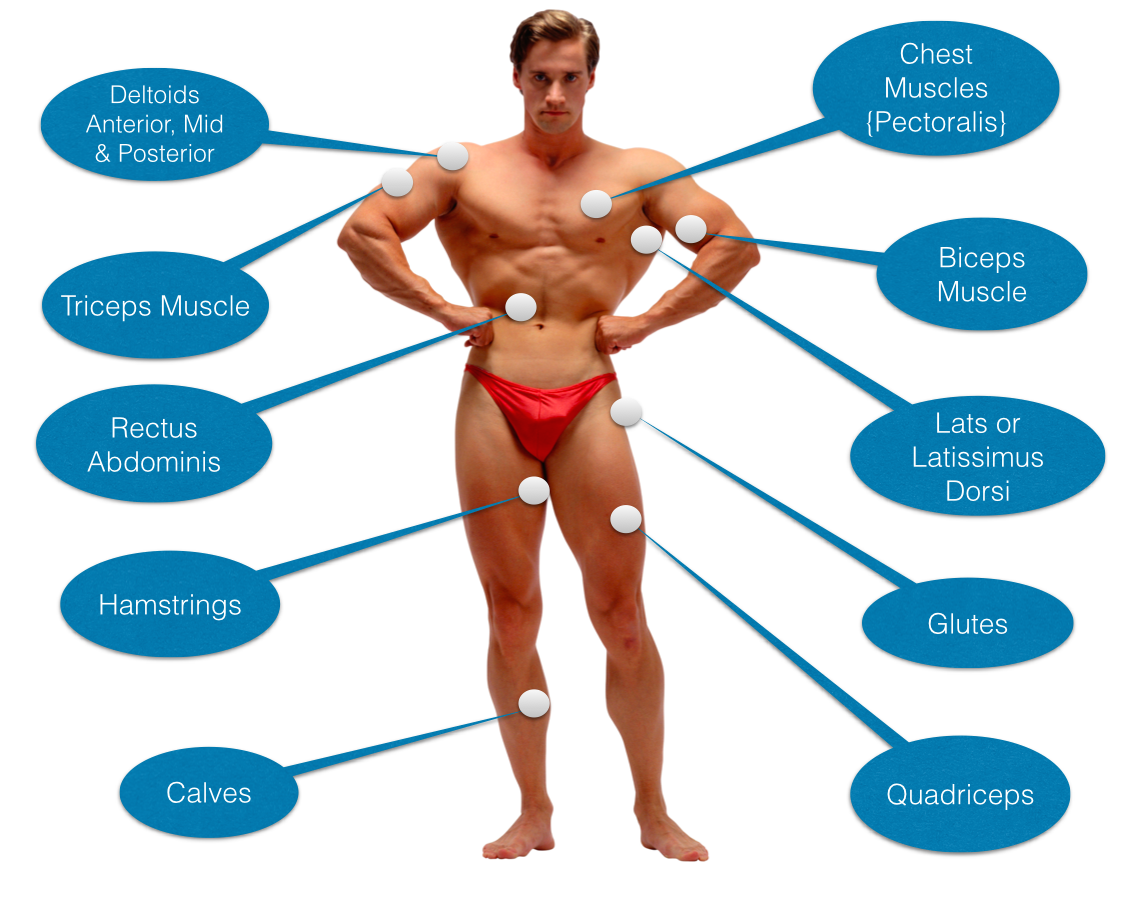 muscle building anatomy 101 for skinny guys to gain mass, Muscles