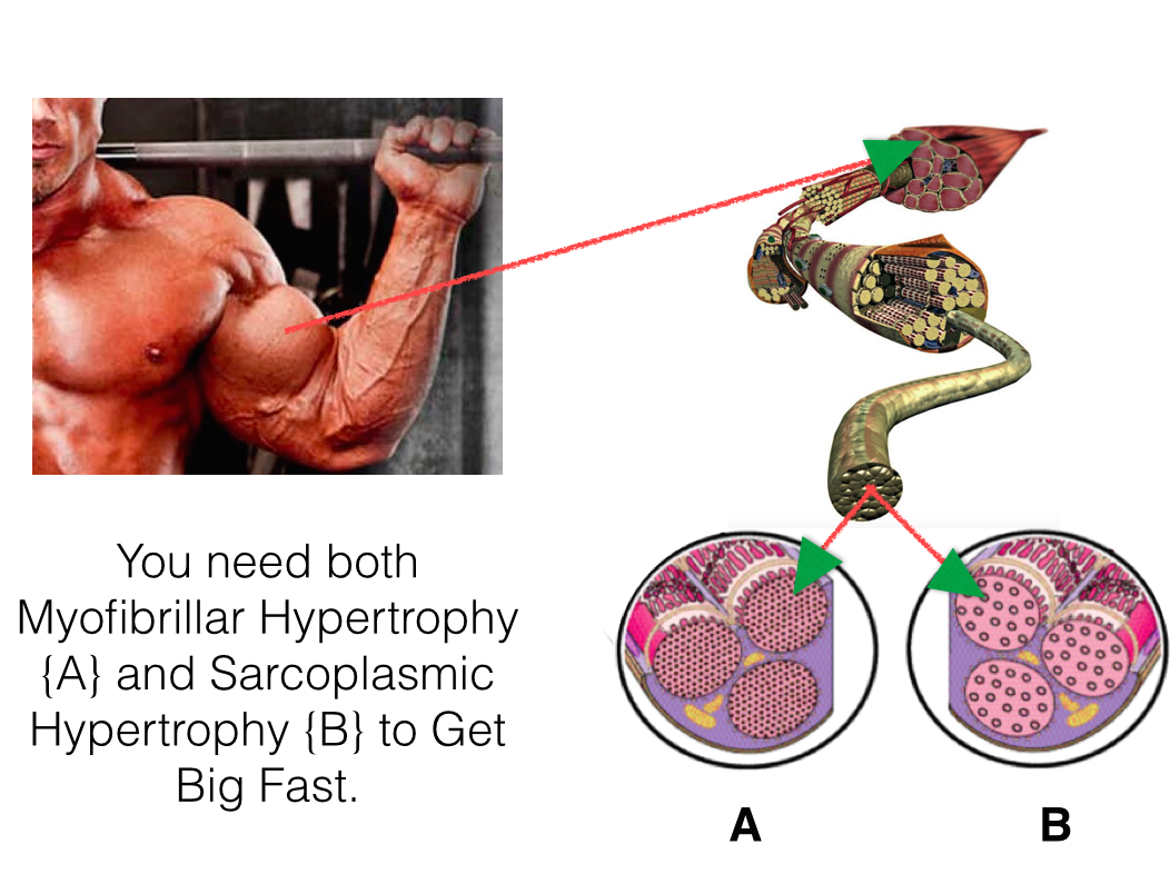 How Muscle Grows The Amazing Science Of Muscle Growth